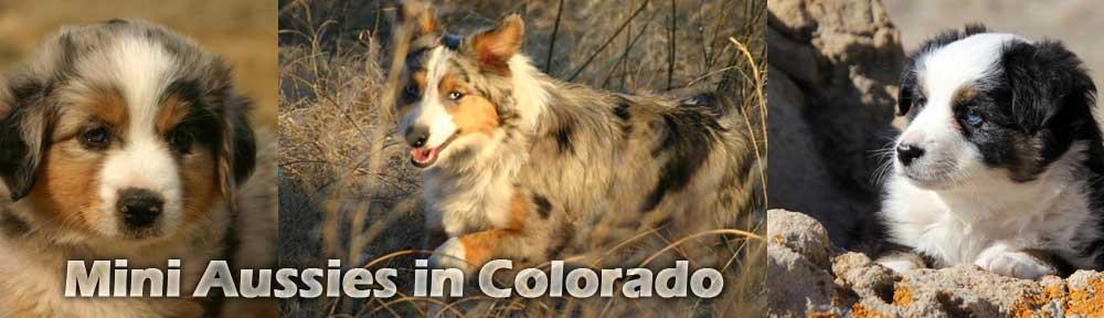 Mini Aussies in Colorado