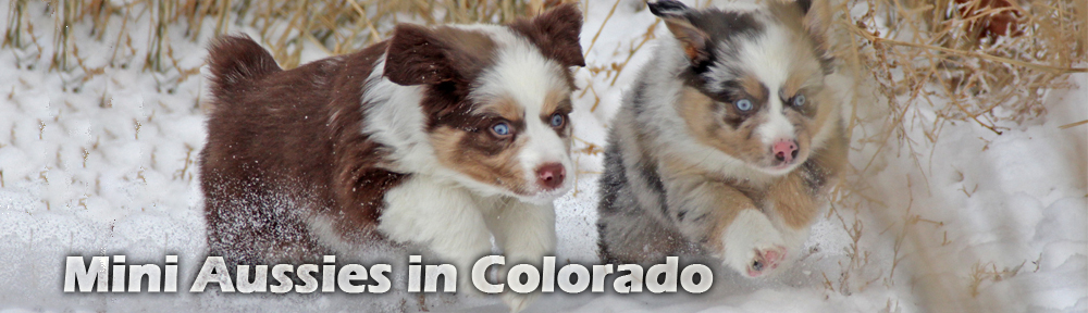 Mini Aussies in Colorado